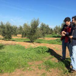 Programa de obtención de nuevas variedades de olivo del IFAPA