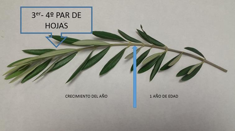 Figura 1: Identificación de las hojas adecuadas para el análisis foliar en olivar.